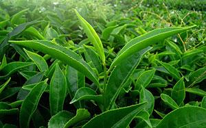 Teepflanzen - www.bluthochdrucksymptome.net
